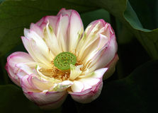 Floración rosada del loto imagen de archivo libre de regalías