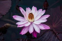floración rosada del loto Imagenes de archivo