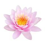 Floración rosada del loto Foto de archivo