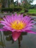 Floración rosada del loto en la charca Foto de archivo libre de regalías