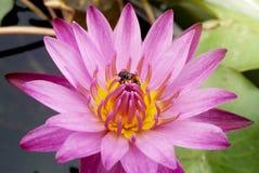 Floración rosada del loto maravillosamente Fotografía de archivo libre de regalías