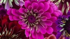 Floración rosada del primer de la flor del Zinnia almacen de metraje de vídeo