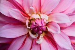 Floración rosada descolorada de la flor Imagenes de archivo