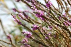Floración rosada en la naturaleza. Fotos de archivo libres de regalías
