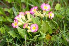 Floración rosada hermosa de las flores en tiempo de primavera Imágenes de archivo libres de regalías