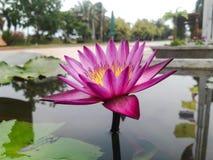 Floración rosada Lotus en agua Fotos de archivo