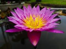 Floración rosada Lotus en agua Imagen de archivo libre de regalías