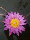 Floración rosada Lotus en agua Imagen de archivo