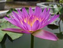 Floración rosada Lotus en agua Fotos de archivo libres de regalías