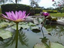 Floración rosada Lotus en agua Foto de archivo