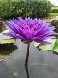 Floración rosada Lotus en agua Foto de archivo libre de regalías