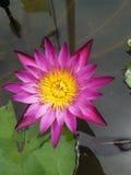 Floración rosada Lotus en agua Imágenes de archivo libres de regalías