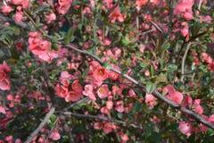 Floración rosada preciosa de las flores en primavera Fotografía de archivo