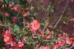 Floración rosada preciosa de las flores en primavera Imagenes de archivo