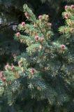 Floración spruce Imagen de archivo