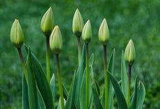 Floración suave delicada de los tulipanes Foto de archivo libre de regalías