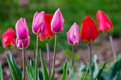 Floración suave delicada de los tulipanes Fotos de archivo libres de regalías