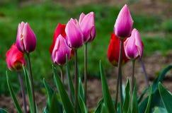 Floración suave delicada de los tulipanes Foto de archivo