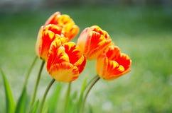 Floración suave delicada de los tulipanes Fotos de archivo