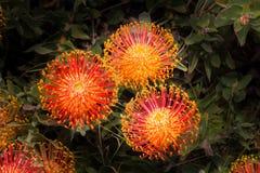Floración surafricana del Leucadendron Imágenes de archivo libres de regalías