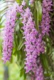 Floración tropical de la flor de la orquídea (multiflora Roxb de Aerides) Imagen de archivo libre de regalías