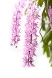 Floración tropical de la flor de la orquídea (multiflora Roxb de Aerides) Foto de archivo