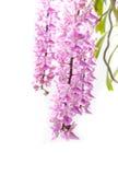 Floración tropical de la flor de la orquídea (multiflora Roxb de Aerides) Foto de archivo libre de regalías