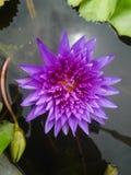 Floración violeta Lotus en agua Fotografía de archivo libre de regalías
