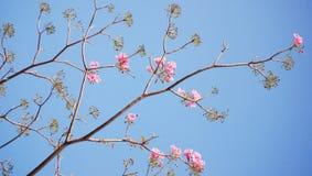 Floración y brotes del tabebuia Foto de archivo libre de regalías