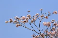 Floración y brotes del tabebuia Foto de archivo