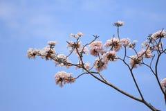 Floración y brotes del tabebuia Fotos de archivo