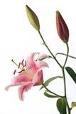 Floración y brotes rojos del lirio Imágenes de archivo libres de regalías