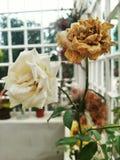 Floración y flores ojerosas Foto de archivo