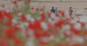 Floraci?n roja de las amapolas en el campo almacen de metraje de vídeo