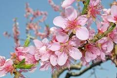 Floración blanca de los flores de cereza Fotografía de archivo libre de regalías
