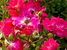 Floración de las rosas rosadas y blancas Imagen de archivo libre de regalías
