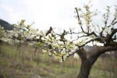 Floración de los árboles de almendra Foto de archivo