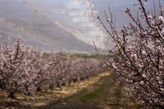 Floración de los árboles de melocotón Imagenes de archivo