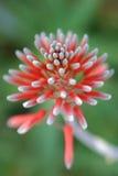 Floración del áloe Foto de archivo libre de regalías