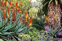 Floración del áloe Foto de archivo