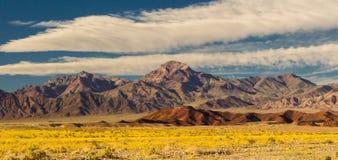 Floración del oro del desierto Fotografía de archivo libre de regalías