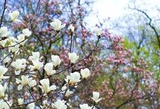 floración del árbol de la magnolia Foto de archivo libre de regalías