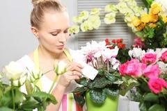 Floración hermosa del ciclamen en conserva Imagen de archivo libre de regalías