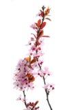 Floración rosada Imagen de archivo libre de regalías