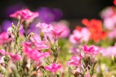 Floración rosada de las flores del verano Foto de archivo libre de regalías