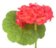 Floración rosada del geranio Foto de archivo libre de regalías