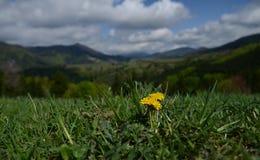 Floraciones amarillas de la flor altas para arriba en las montañas en un prado verde en un fondo del cielo con las nubes foto de archivo libre de regalías