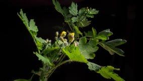 Floraciones amarillas de la flor almacen de video