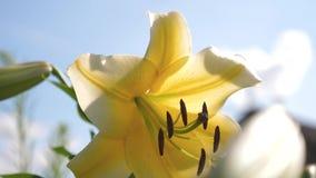 Floraciones amarillas del lirio del jard?n en verano contra un cielo azul Primer Negocio de la flor Flores hermosas en primavera  almacen de metraje de vídeo