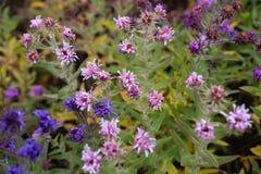 Floraciones bastante púrpuras de la caída Fotografía de archivo libre de regalías